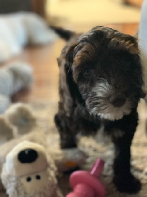 chocolate and white female Labradoodle