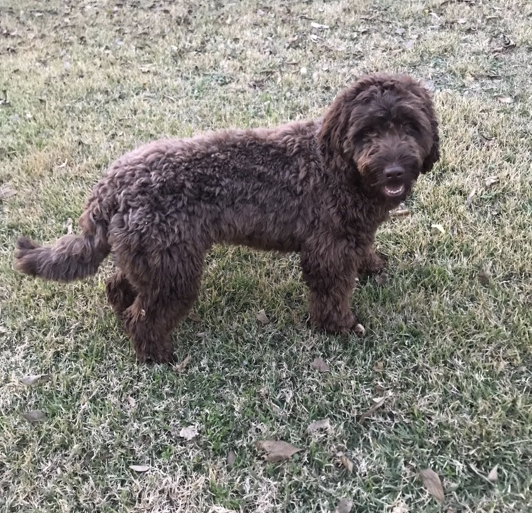 chocolate male Labradoodle