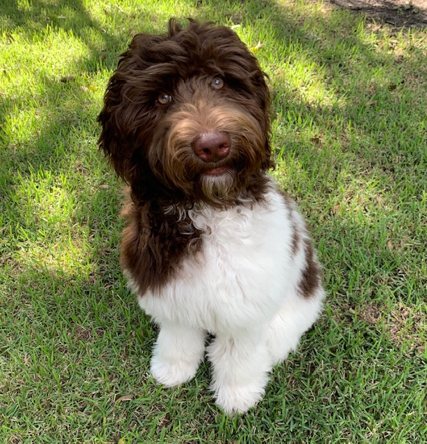Chocolate and White Australian Labradoodle